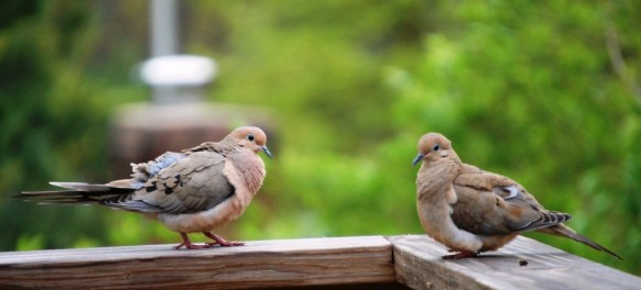 Two doves in love on my back deck