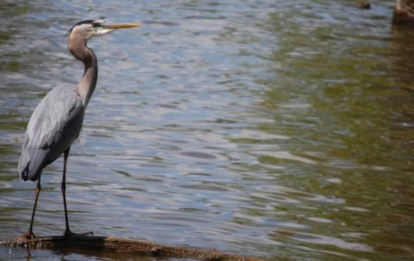 Blue Heron at Jacobson Lake