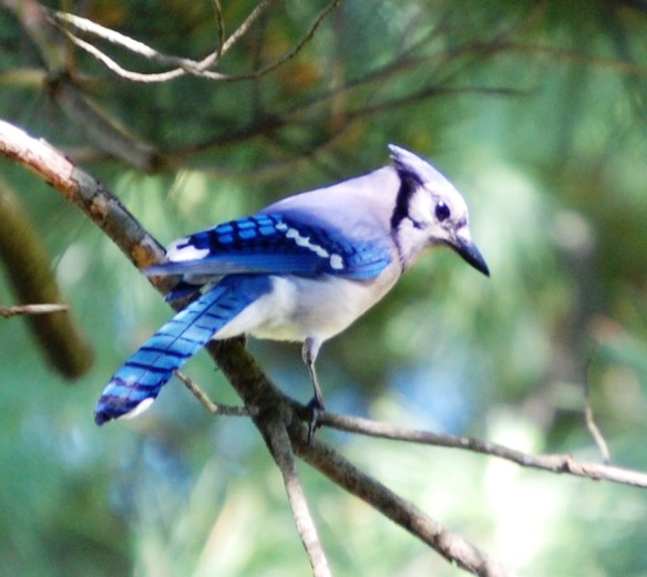 A Blue Jay on a tree in my back yard