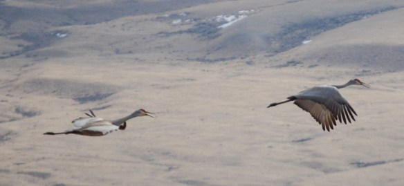 Sand Cranes in flight over the prairies of southern Montana, taken April 2013