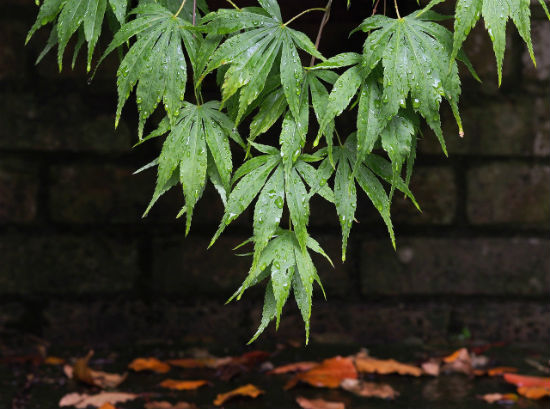 Acer Palmatum is a great for privacy landscaping between houses