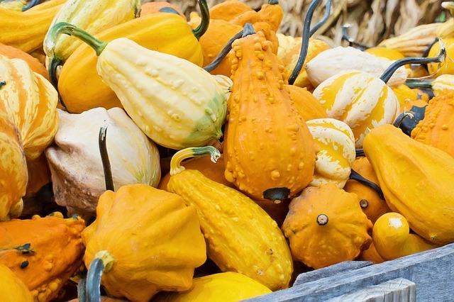 gourds and yellow crookneck with bumps on skin
