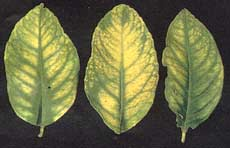 Manganese toxicity in yellow lemon and citrus tree leaves