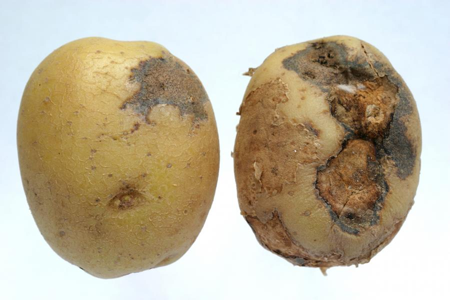 how to avoid potatoes rot