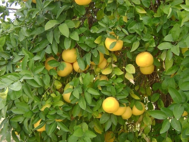 Supply enough nitrogen to prevent yellow leaves on citrus trees
