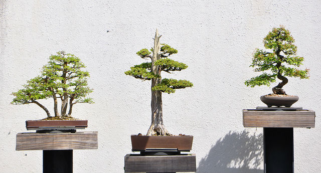 proper watering of bonsai tree