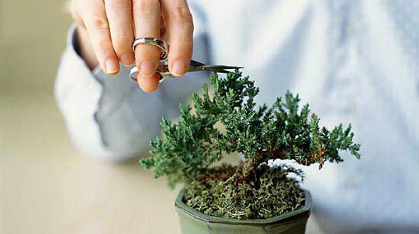 Always use bonsai tree clippers when pruning, not scissors