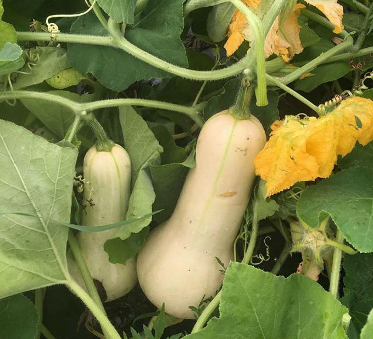 Types of Butternut squash
