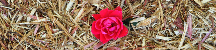 Caring for knockout roses in winter