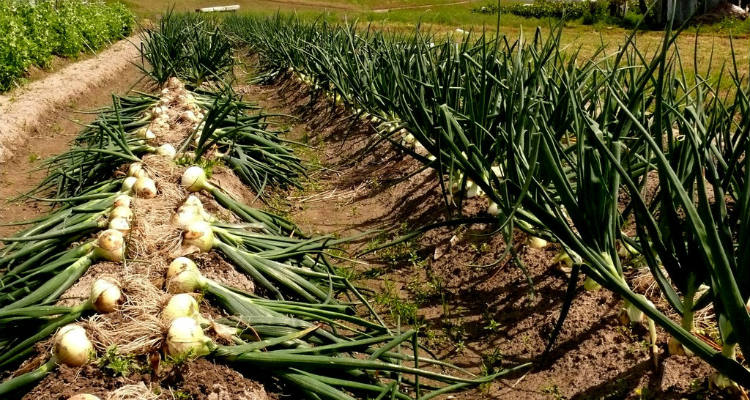 using organic fertilizer for onions