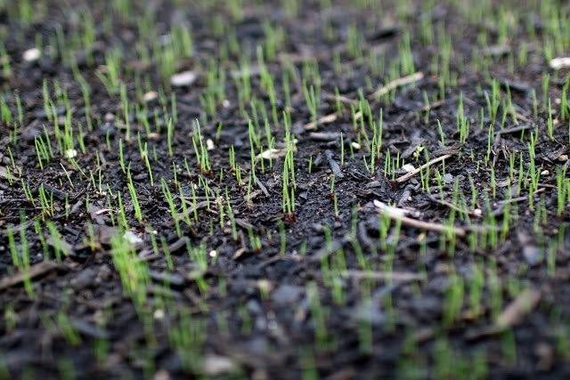 How long does it take for new grass seed to begin germination?