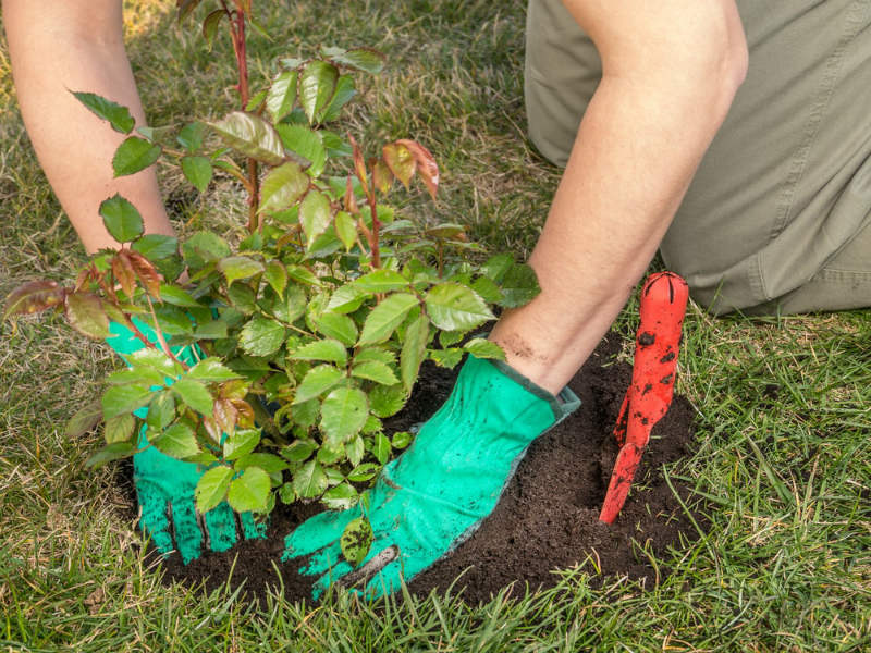 Planting Jude Obscure Roses in Your Garden