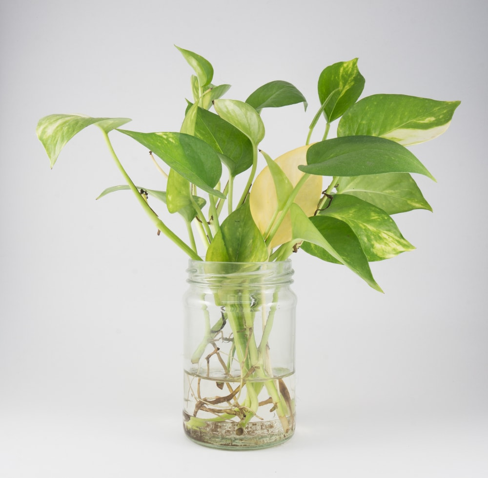 How to Propagate Pothos Plants in Water