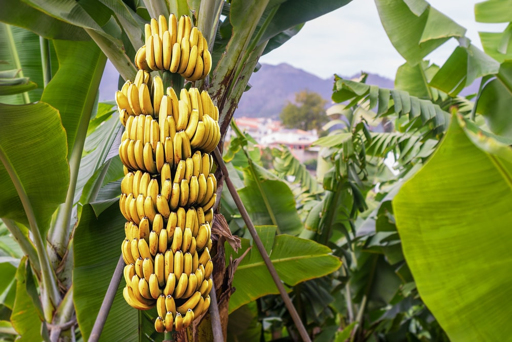 Requirements of Fertilizers for Banana Trees