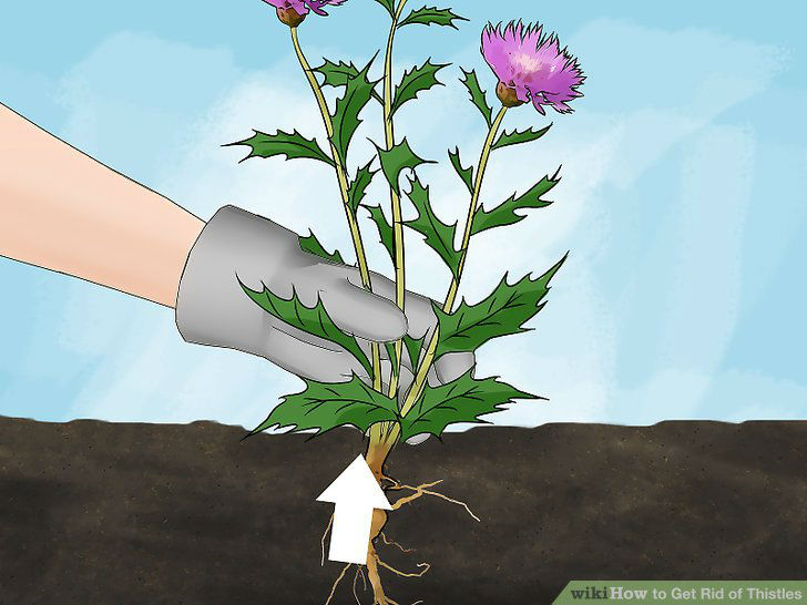 Digging the root of the thistle using your hand