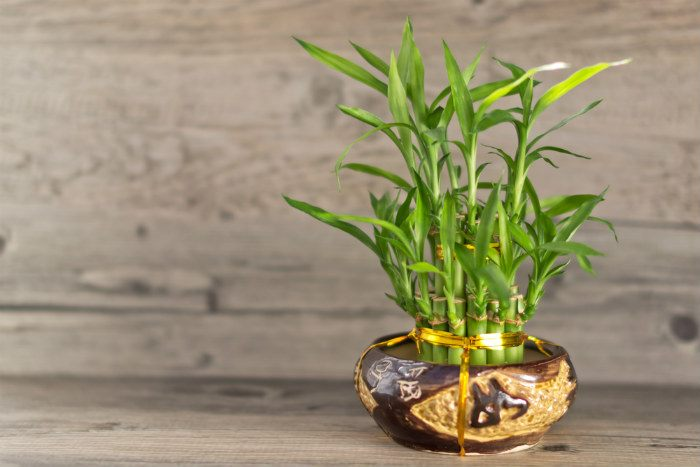 The main reason why your bamboo plant is turning yellow is due to injuries