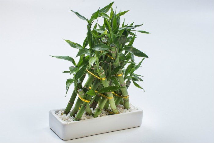 The best way to fertilize the plant is twice every year using a liquid fertilizer houseplant