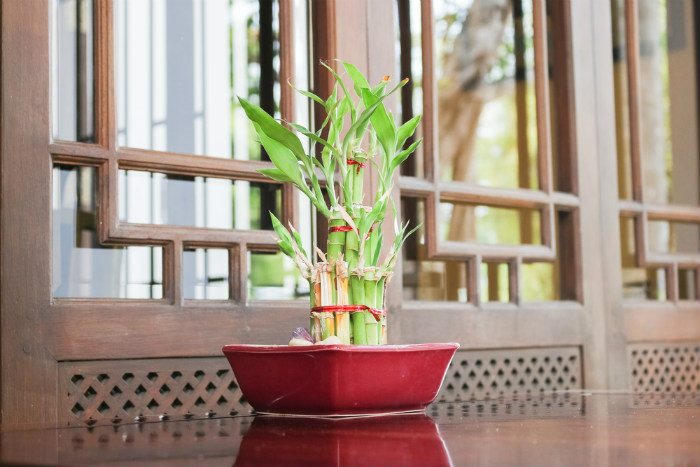 lucky bamboo turning yellow