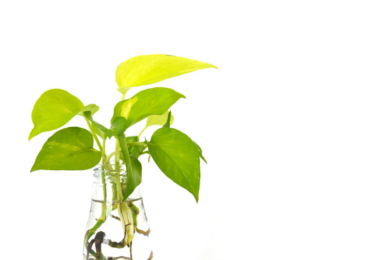 Pothos get Fungal Diseases that Rots the Roots identifiable by yellowing leaves