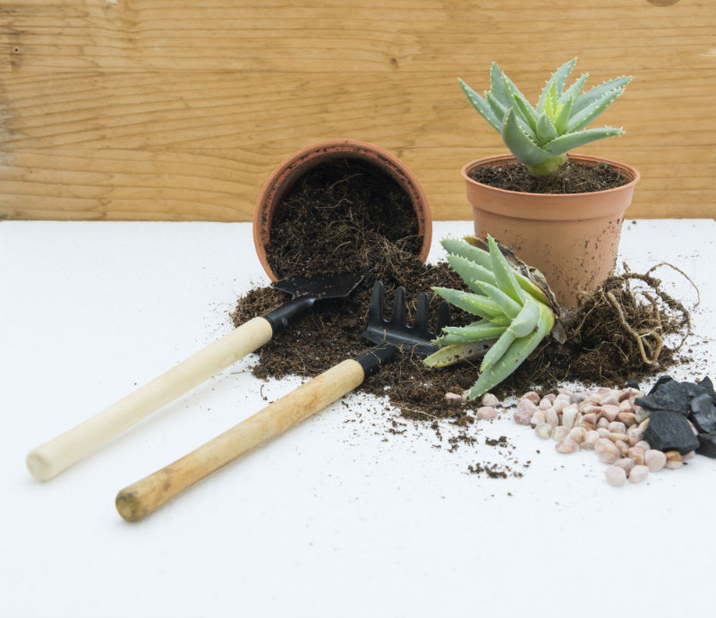 Repotting Requirements of Aloe Vera
