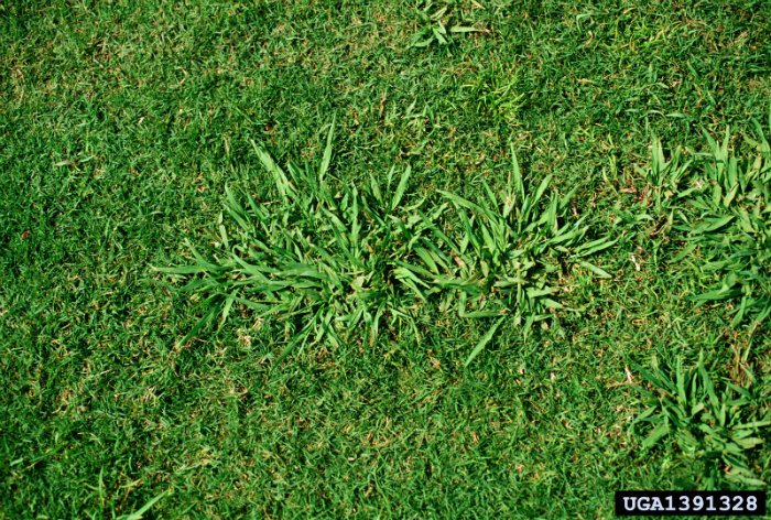What is Dalligrass Weed?