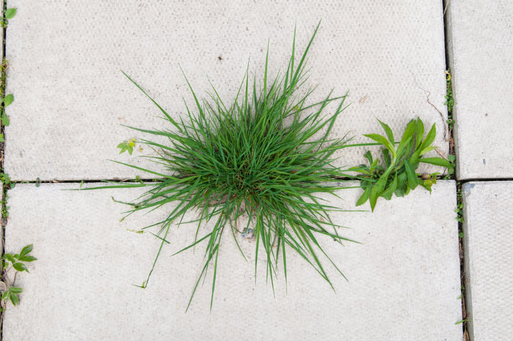 What is Crabgrass Weed?