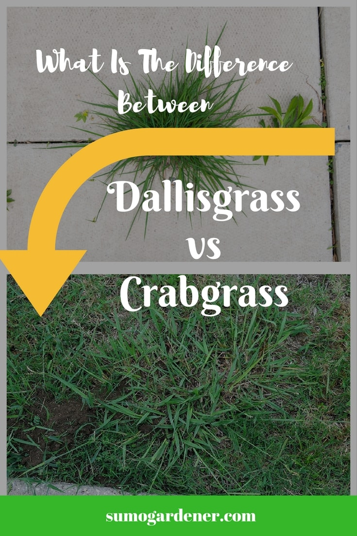 Dallisgrass vs Crabgrass