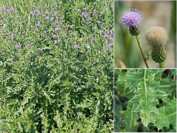 How to get rid of Canada Thistle?
