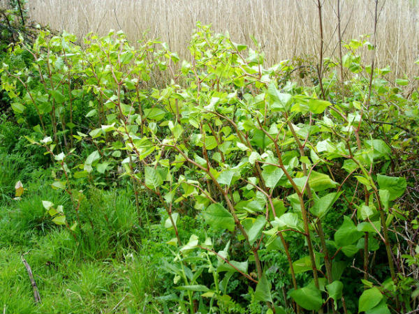 How to remove Japanese Knotweed?