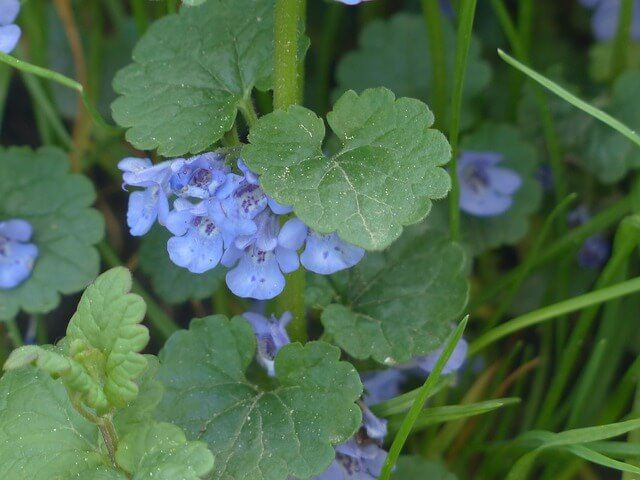 How to kill ground ivy weed?