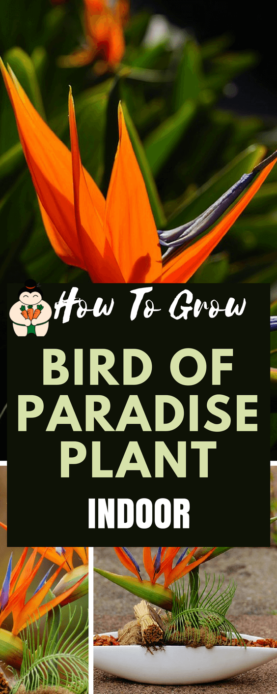 How To Grow Bird Of Paradise Plant Indoor #birdofparadise #indoorgardening #gardening #sumogardener