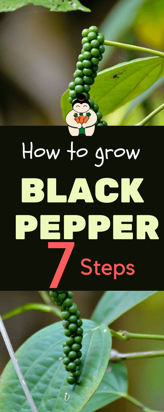 How to Grow Black Pepper At Home