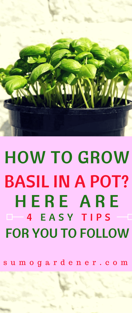 Do you like the taste of basil in your dishes? Why not plant your own basil plant using pot containers? It's easy and hassle-free.