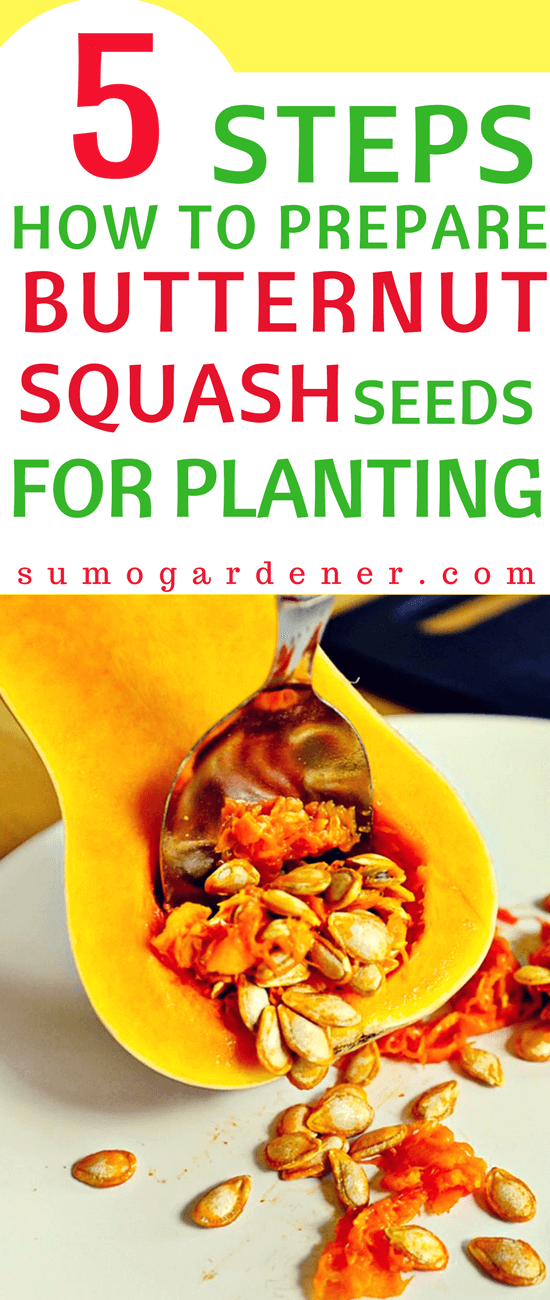 How to prepare butternut squash seeds for planting