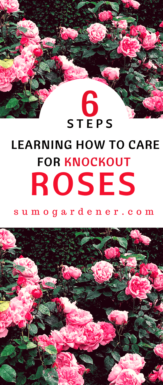 Knockout Roses are easy to grow and care for