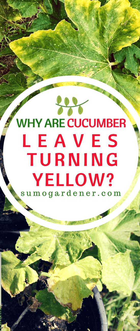 Why are you cucumber leaves turning yellow, how to prevent it