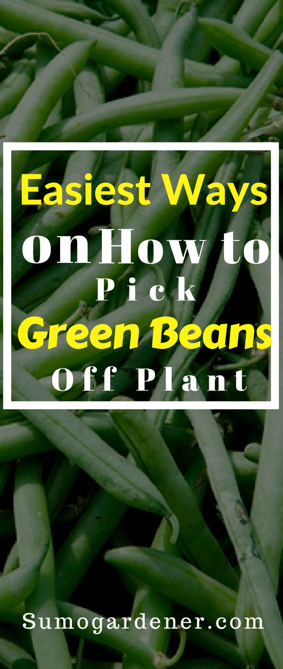 Growing green beans is not only ideal but also beneficial to one's health. The reason behind this is because of the different types of antioxidants that they have.