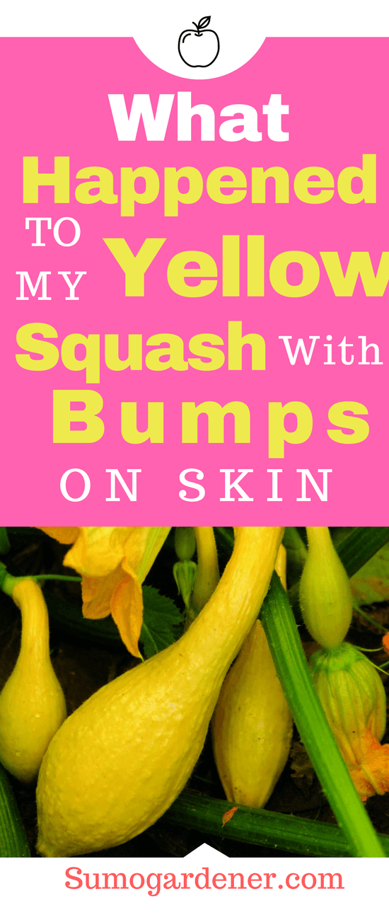 As the growing season progressed, her plants have grown well, but her first timer joy turned to sorrow when she saw the yellow squash had bumps on its skin