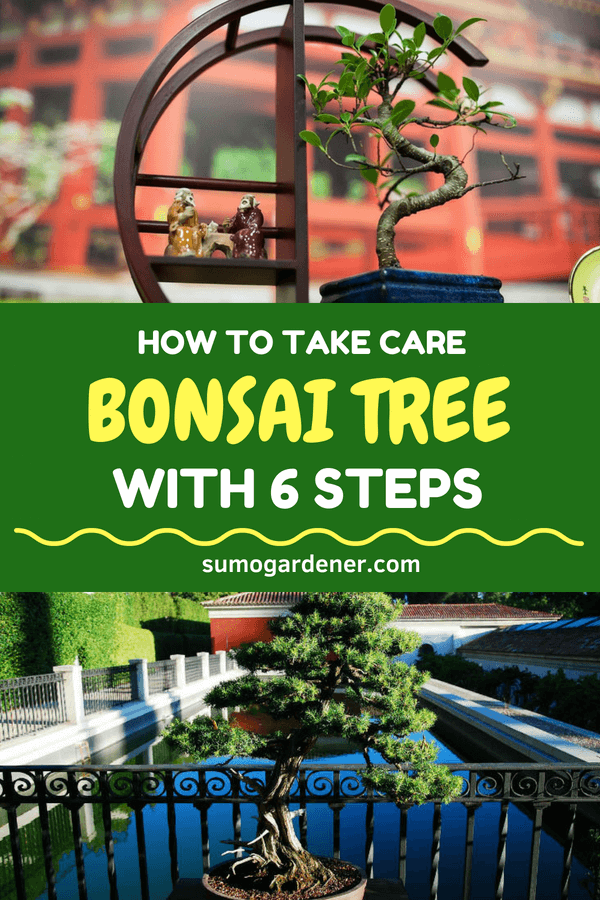 How to take care of Bonsai tree