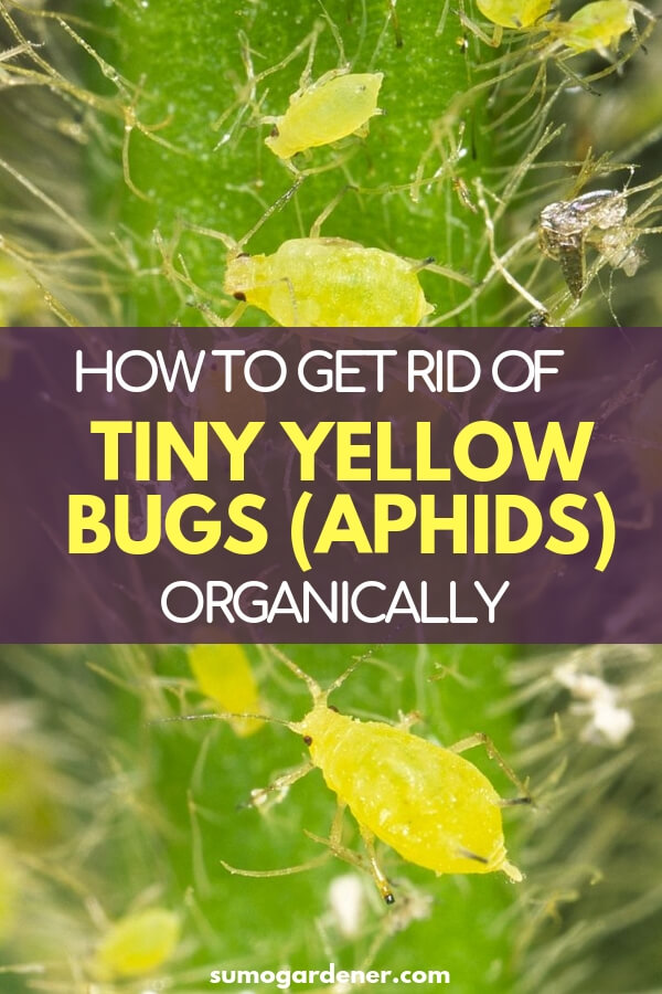 How to get rid of Tiny Yellow Bugs (Aphids) organically