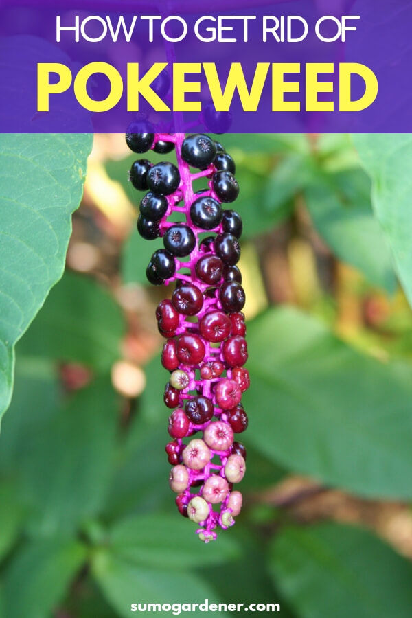 safe pokeweed removal