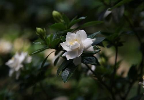 Gardenia flowers have sedative qualities, increasing deep sleep