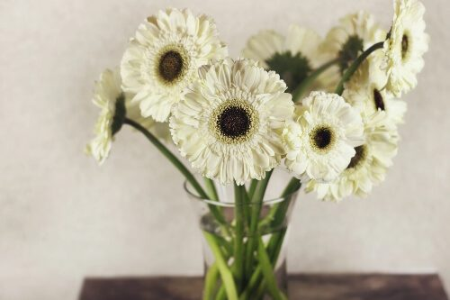 Gerbera Daisy help induce a better sleep