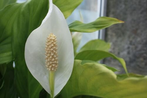 Peace Lily clean air ensuring a pleasant sleep