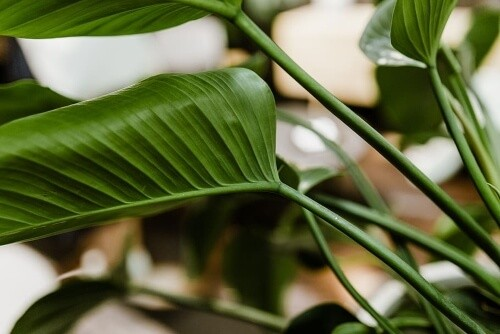 Philodendron is a strong air purifier making a deeper sleep easier