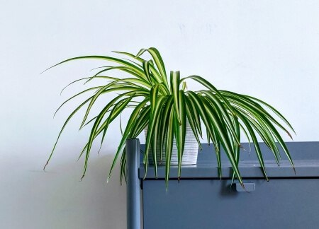 Spider Plant helps clean bedroom air for a deep sleep