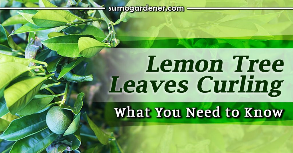 Lemon Tree Leaves Curling What You Need to Know