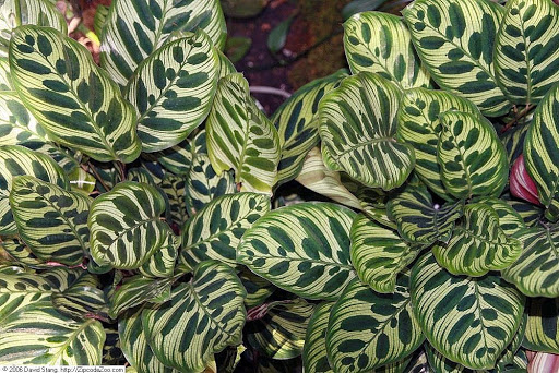 Calathea Makoyana is also known as Peacock plant or Cathedral windows.
