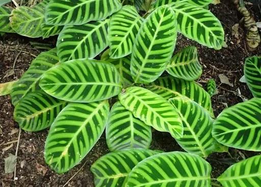 Calathea Zebrina is distinguished by dark green stripes on a light green leaf