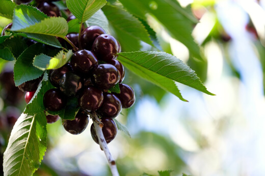 How to Grow Black Cherry Trees